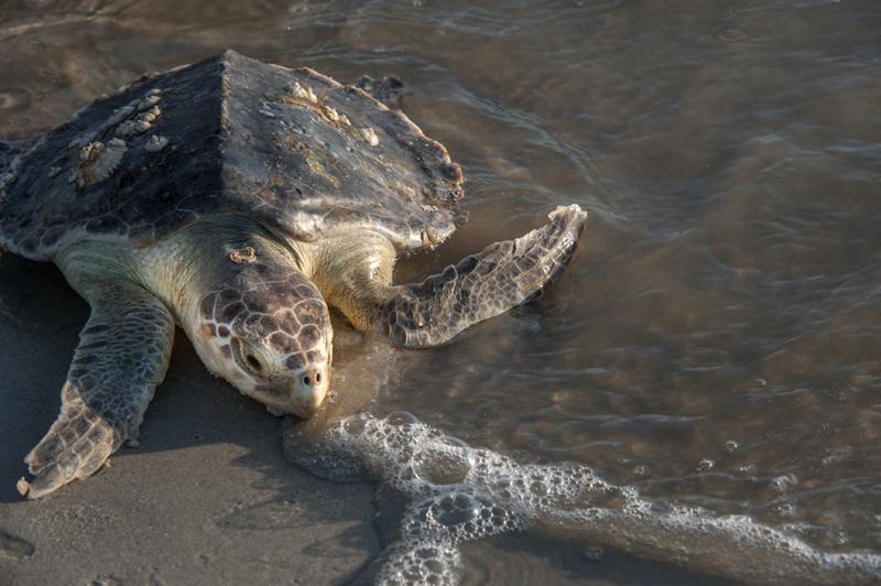 beachview-club-jekyll-island-sea-turtle